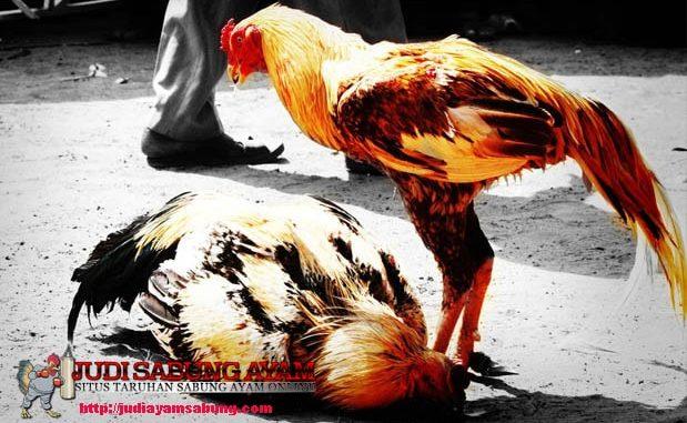 trik-rahasia-mengalahkan-ayam-laga-juara-dan-sering-menang
