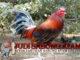 Mengenal Jenis Ayam Betet Bali
