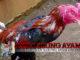 Merawat Ayam Bangkok Setelah Diadu Agar Cepat Pulih
