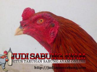 Cara Cepat Menyembuhkan Paruh Ayam Aduan Yang Patah