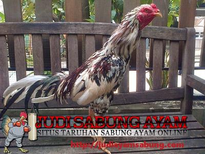 Cara Mengobati Penyakit Berak Hijau Pada Ayam Aduan