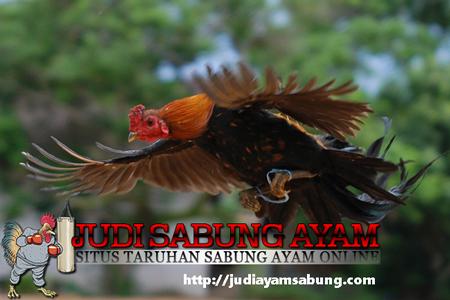 Cara Meningkatkan Kualitas Ayam Adu Dengan Maksimal