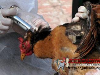 Cara-Ampuh-untuk-Mencegah-Penyakit-pada-Ayam-Bangkok-Kesayangan-Anda