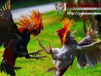 Cara Membuat Bulu Ayam Bangkok Agar Terlihat Mengkilat
