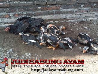 Penyakit Ayam Bangkok