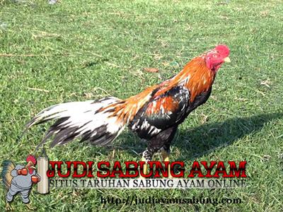 Mitos Ayam Bangkok Wiring Kuning Istimewa