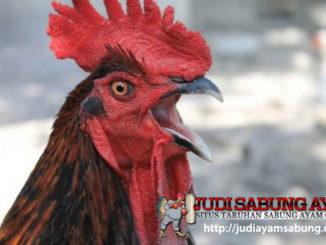 Jenis Pakan Ayam Aduan yang Sesuai dengan Teknik Pukulan dan Gaya Tarung