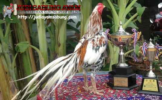Mengenal 10 Ciri Ayam Bangkok Yang Super