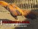 cara memperkuat tulang leher pada ayam bangkok dengan mudah