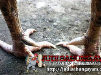 cara mengetahui gaya bertarung ayam bangkok berdasarkan bentuk kaki