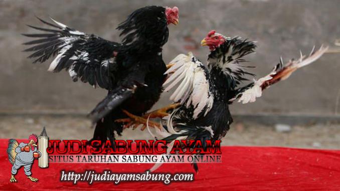 trik agar ayam bangkok menang dalam pertarungan menurut primbon jawa