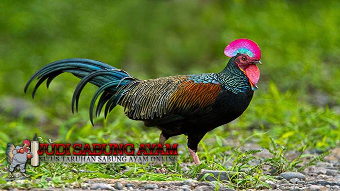 mengenal ayam hutan hijau serta habitat aslinya berserta jenis dan cirinya