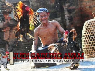 Keistimewaan Ayam Aduan Satria Sinekti yang Menakutkan