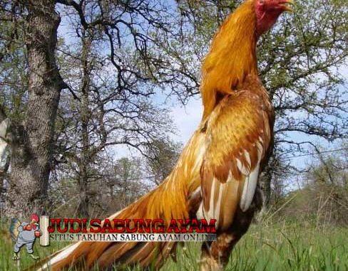 Mengenal Ciri Ayam Aduan Shamo Yang Paling Ditakuti