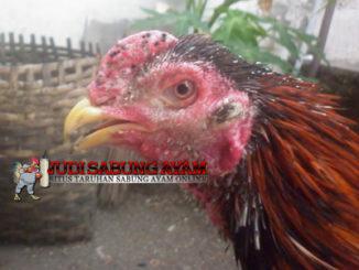 Cara Mengobati Penyakit Korep/Kurap Pada Ayam Bangkok Secara Cepat