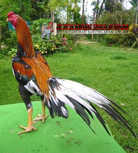 Ayam Bangkok Wiring