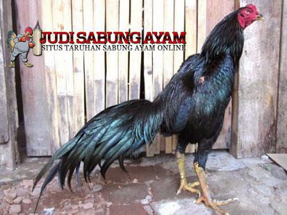 Ayam Bangkok Hitam Jergem