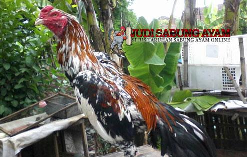 Ayam Bangkok Blorok