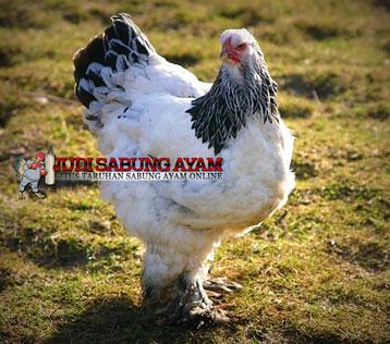ayam brahma atau Ayam Jumbo