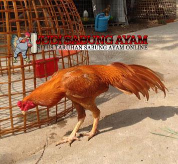 Ayam Bangkok Wangkas