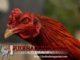 Cara Merawat Ayam Bangkok Setelah Selesai Di Adu
