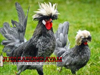 Mengenal Si Unik Ayam Poland Atau Ayam Mahkota