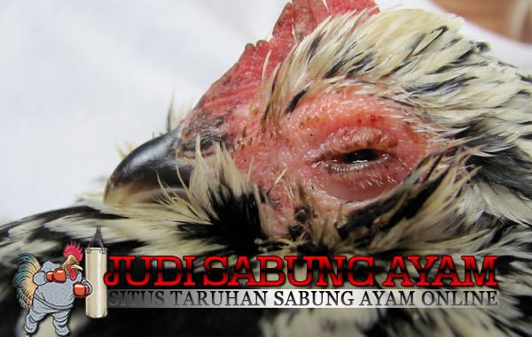Cara Ampuh Mengatasi Mata Merah, Luka Pukulan dan Cacingan Pada Ayam Bangkok