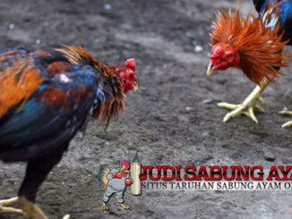 Tips Memelihara Ayam Bangkok untuk Cetak Juara Tarung