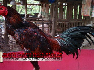 Tips Mudah Memilih Ayam Aduan Berkualitas Bagi Pemula