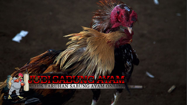 Pelatihan Ayam Bangkok Agar Fisiknya Kuat