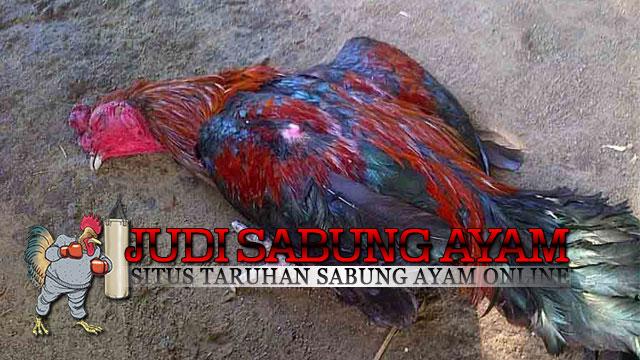 Cara Mencegah Penyakit Tetelo Pada Ayam Bangkok