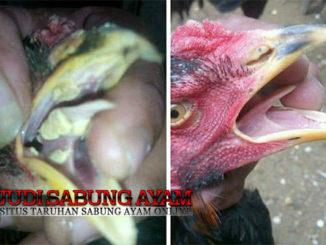 Mengobati Sariawan Pada Ayam Aduan