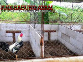Jenis Kandang Ayam Aduan - Sabung Ayam Online