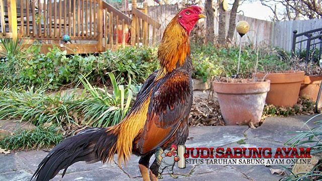Ciri Ayam Bangkok