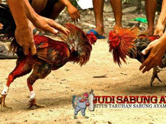 mengenali ayam bangkok