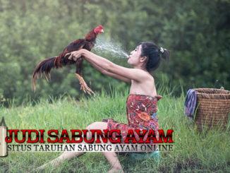 Cara Memandikan Ayam Bangkok Yang Benar