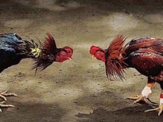 Cara Memilih Pakan Ayam Bangkok