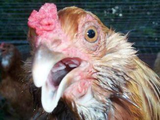 penyebab penyakit ayam ngorok
