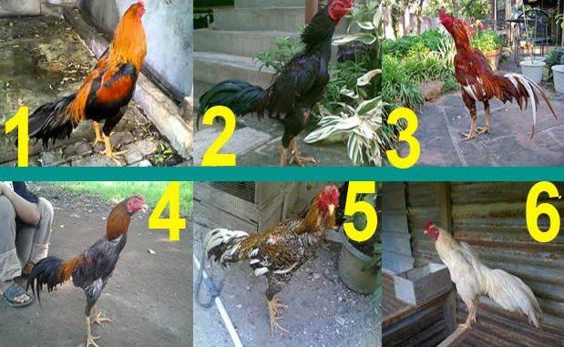 Jenis Ayam Bangkok Berdasarkan Warna Bulunya Dalam Katuranggan Ayam