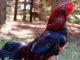 Kelebihan Ayam Aduan Vietnam