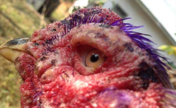 Obat Mata Ayam Aduan