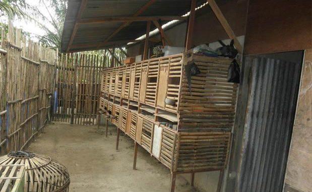 Usaha Ternak Ayam Bangkok Yang Sangat Menggiurkan