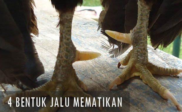 Bentuk Jalu Ayam Bangkok Mematikan Yang Paling Ditakuti