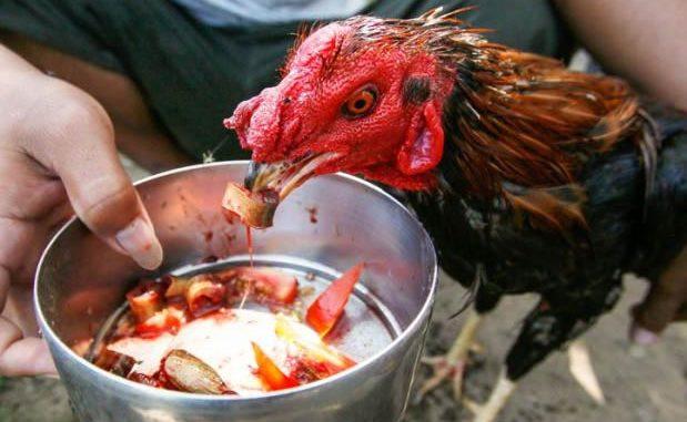 Cara Tepat Memelihara Ayam Bangkok Juara