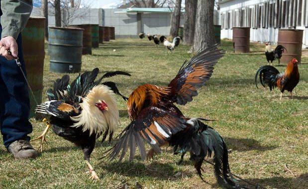 Cara Tepat Meningkatkan Mental Serta Keberanian Ayam Bangkok