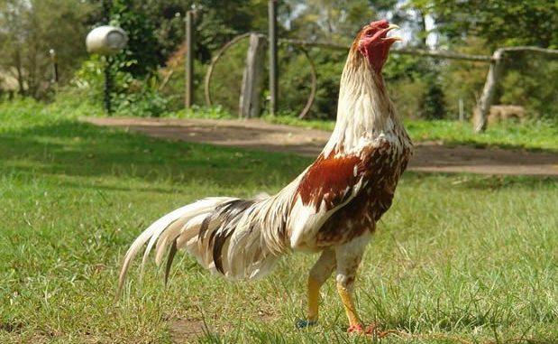 Ciri Ayam Bangkok Aduan