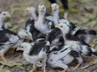 Inilah Pakan Anak Ayam Bangkok