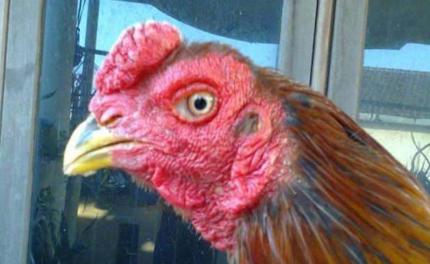 Kupas Tuntas Katuranggan Jengger Ayam Bangkok Aduan