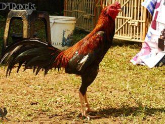 Standar Ukuran Ayam Bangkok Aduan yang Wajib Anda Tahu