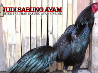 suplemen tradisional bagi ayam bangkok - sabung ayam online